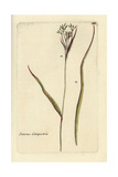 "Hairy Field Rush, Juncus Campestris, From Pierre Bulliard's ""Flora Parisiensis,"" 1776, Paris Giclee Print by Pierre Bulliard"