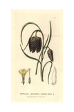Snake's Head Fritillary, Fritillaria Meleagris, From Baxter's British Phaenogamous Botany, 1834 Giclée-Druck von Isaac Russell