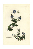 "Speedwell, Veronica Beccabunga, From Pierre Bulliard's ""Flora Parisiensis,"" 1776, Paris Giclee Print by Pierre Bulliard"