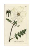 "Burnet Rose, Rosa Pimpinellifolia, From Pierre Bulliard's ""Flora Parisiensis,"" 1776, Paris Giclee Print by Pierre Bulliard"