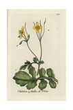 "Greater Celandine, Chelidonium Majus, From Pierre Bulliard's ""Flora Parisiensis,"" 1776, Paris Giclee Print by Pierre Bulliard"