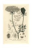 Wild Carrot, Daucus Carota Giclee Print by Isaac Russell