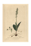 Green Musk Orchid, Herminium Monorchis, From William Baxter's British Phaenogamous Botany, 1838 Giclee Print by Charles Mathews