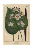Catalpa Tree From Michaux's North American Sylva, 1857 Giclee Print by Pancrace Bessa