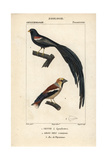 Widowbird And Hawfinch From Sainte-Croix's Dictionary of Natural Science: Ornithology Giclee Print