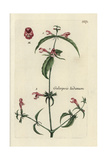 "Red Hempnettle, Galeopsis Ladanum, From Pierre Bulliard's ""Flora Parisiensis,"" 1776, Paris Giclee Print by Pierre Bulliard"