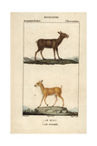 Musk Deer From Frederic Cuvier's Dictionary of Natural Science: Mammals, Paris, 1816 Giclee Print