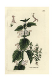 White Deadnettle, Lamium Album Giclee Print by Pierre Bulliard