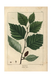 Red Birch Tree From Michaux's North American Sylva, 1857 Giclee Print by Henri Joseph Redouté