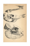 Skull And Jaw Structure of the Cape Hyrax Giclee Print