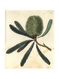 Rival Banksia Or Wallum Banksia Banksia Aemula (Banksia Serrata) Giclee Print by Miss C. Curtis