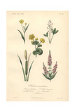 Greater Spearwort, White Clover, Yellow Marsh Marigold, Bulrush And Purple Loosestrife Giclee Print by Edouard Maubert