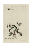 "Red-stem Filaree, Erodium Cicutarium, From Bulliard's ""Flora Parisiensis,"" 1776, Paris Giclee Print by Pierre Bulliard"