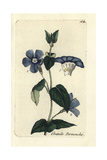 "Greater Periwinkle, Vinca Major, From Pierre Bulliard's ""Flora Parisiensis,"" 1776, Paris Giclee Print by Pierre Bulliard"