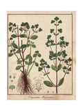 Marjoram, Origanum Majorana Giclee Print by Friedrich Gottlob Hayne