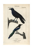 Raven And Magpie From Sainte-Croix's Dictionary of Natural Science: Ornithology, Paris, 1816-1830 Impression giclée