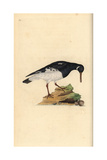 Oystercatcher From Edward Donovan's Natural History of British Birds, London, 1799 Reproduction procédé giclée par Edward Donovan