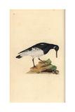 Oystercatcher From Edward Donovan's Natural History of British Birds, London, 1799 Giclee Print by Edward Donovan