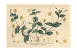 Wood Loosestrife, Lysimachia Nemorum, From William Baxter's British Phaenogamous Botany, 1839 Giclee Print by Isaac Russell