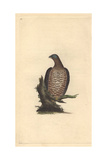 European Honey Buzzard From Edward Donovan's Natural History of British Birds, 1799 Reproduction procédé giclée par Edward Donovan