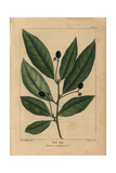 Red Bay Tree From Michaux's North American Sylva, 1857 Giclee Print by Henri Joseph Redouté