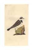 Sea Lark From Edward Donovan's Natural History of British Birds, London, 1799 Impression giclée par Edward Donovan