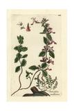 "Wall Germander, Teucrium Chamaedrys, From Pierre Bulliard's ""Flora Parisiensis,"" 1776, Paris Giclee Print by Pierre Bulliard"