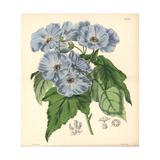 Vine-leaved Sida, Sida (abutilon) Vitifolia Giclee Print by Walter Hood Fitch