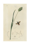 Oryssus Coronatus, Oryssus Abietinus Wood-wasp, And Manured Canary-grass, Phalaris Canariensis Giclee Print by John Curtis