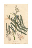 Catechu Tree, Acacia Catechu Giclee Print by E. Weddell