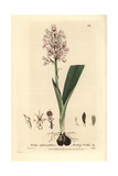 Monkey Orchis, Orchis Tephrosanthos, From William Baxter's British Phaenogamous Botany, 1836 Giclee Print by Isaac Russell