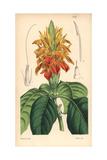 Orange Aphelandra, Aphelandra Aurantiaca Giclee Print by Walter Hood Fitch