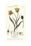 Woodland Tulip, Tulipa Sylvestris Giclee Print by Jean Gabriel Pretre