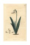 Clusius' Snowdrop, Galanthus Plicatus Giclee Print by John Curtis