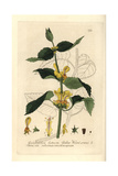 Yellow Archangel, Galeobdolon Luteum, From Baxter's British Phaenogamous Botany, 1836 Giclee Print by Charles Mathews
