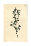 Alpine Thyme, Thymus Alpinus Giclee Print by John Curtis