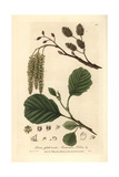 Black Alder Tree, Alnus Glutinosa, From William Baxter's British Phaenogamous Botany, 1836 Giclee Print by Isaac Russell