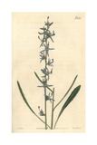 Slender Rampion, Phyteuma Stricta Giclee Print by John Curtis