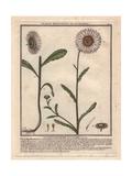 Oxeye Daisy, Chrysanthemum Leucanthemum Giclee Print by Pierre Bulliard