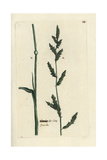 "Barnyard Grass, Echinochloa Crus-galli, From Pierre Bulliard's ""Flora Parisiensis,"" 1776, Paris Giclee Print by Pierre Bulliard"
