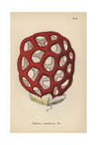 Lattice Fungus, Clathrus Cancellatus Giclee Print by Mordecai Cubitt Cooke