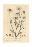 Stinking Chamomile, Anthemis Cotula, From William Baxter's British Phaenogamous Botany, 1839 Giclee Print by Charles Mathews
