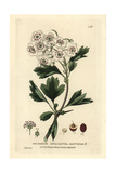 Hawthorn, Crataegus Oxyacantha, From William Baxter's British Phaenogamous Botany, 1834 Giclee Print by Isaac Russell