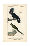 Palm Cockatoo And Ground Parrot From Sainte-Croix's Dictionary of Natural Science: Ornithology Giclee Print