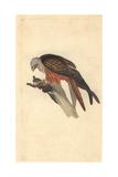 Kite From Edward Donovan's the Natural History of British Birds, 1799 Impression giclée par Edward Donovan