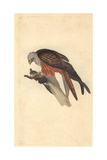 Kite From Edward Donovan's the Natural History of British Birds, 1799 Giclee Print by Edward Donovan