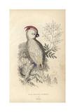 Salmon-crested Cockatoo Giclee Print