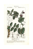 Field Pea, Pisum Arvense Giclee Print by Jean Gabriel Pretre