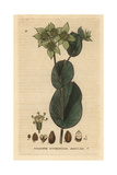 Hare's Ear, Bupleurum Rotundifolium, From William Baxter's British Phaenogamous Botany, 1834 Giclee Print by Isaac Russell