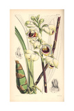 Mr. Warre's Maxillaria Orchid, Warrea Warreana Giclee Print by Walter Hood Fitch